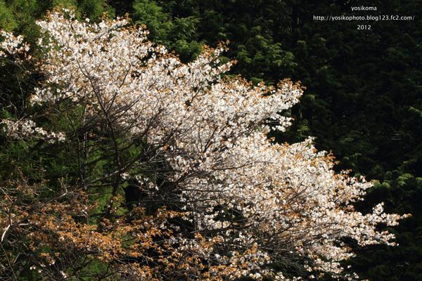 大平山桜1