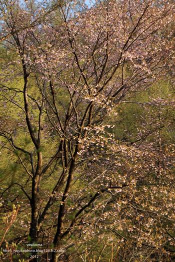 大平山桜7