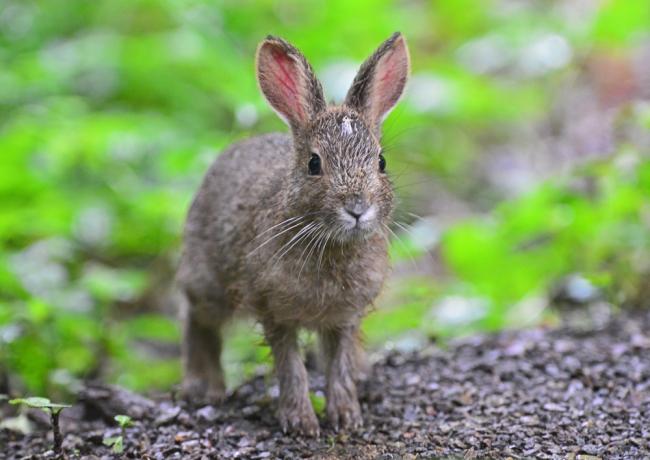 6012-ノウサギ