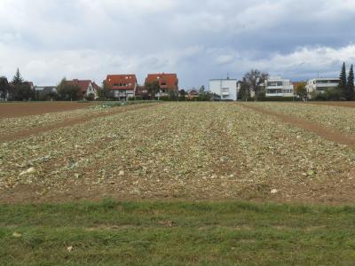 収穫後のキャベツ畑