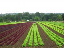 サラダ菜畑