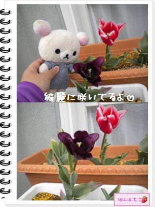 ちこちゃんの観察日記2012★18★チューリップの観察11-2