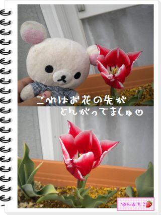 ちこちゃんの観察日記2012★18★チューリップの観察11-3