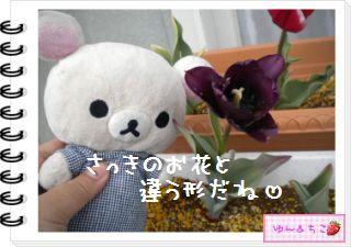 ちこちゃんの観察日記2012★18★チューリップの観察11-4