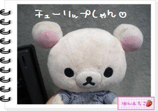 ちこちゃんの観察日記2012★19★チューリップの観察12~ありがとう黄色しゃん~-1