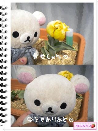 ちこちゃんの観察日記2012★19★チューリップの観察12~ありがとう黄色しゃん~-2