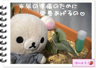 ちこちゃんの観察日記2012★19★チューリップの観察12~ありがとう黄色しゃん~-5