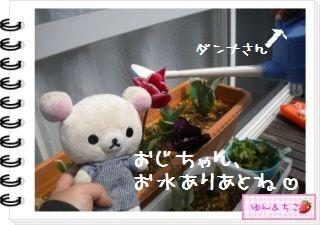 ちこちゃんの観察日記2012★19★チューリップの観察12~ありがとう黄色しゃん~-6