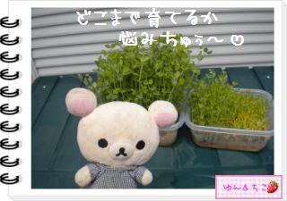 ちこちゃん日記★131★にょきにょき豆苗しゃん日記-3