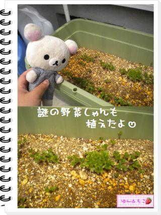 ちこちゃんの観察日記2012★22★謎の野菜9-4