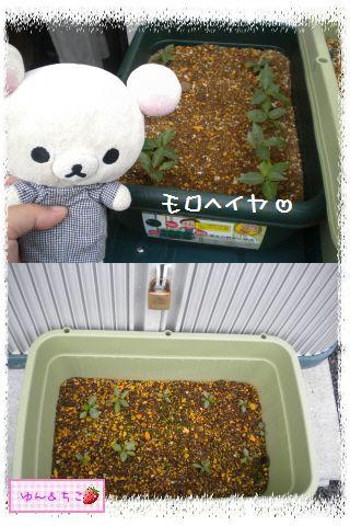 ちこちゃんの観察日記2012★夏野菜の観察★1-4