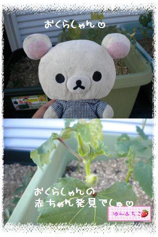 ちこちゃんの観察日記2012★2★オクラしゃん-2