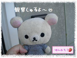 ちこちゃんの観察日記2012★2★オクラしゃん-1