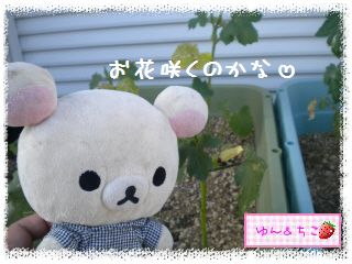 ちこちゃんの観察日記2012★2★オクラしゃん-3