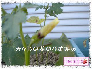 ちこちゃんの観察日記2012★2★オクラしゃん-4