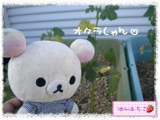 ちこちゃんの夏野菜観察日記2012★3★オクラしゃんの花が咲くまで-2