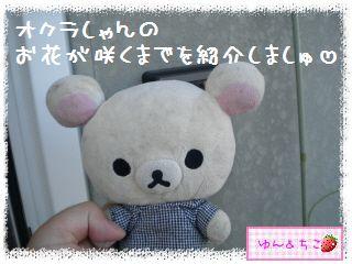 ちこちゃんの夏野菜観察日記2012★3★オクラしゃんの花が咲くまで-1