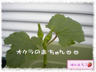 ちこちゃんの夏野菜観察日記2012★3★オクラしゃんの花が咲くまで-3