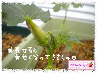 ちこちゃんの夏野菜観察日記2012★3★オクラしゃんの花が咲くまで-4