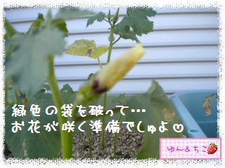 ちこちゃんの夏野菜観察日記2012★3★オクラしゃんの花が咲くまで-5