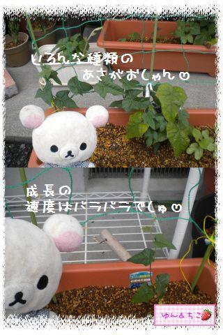 ちこちゃんのあさがお日記2012★1★-3
