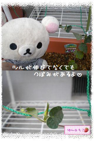 ちこちゃんのあさがお日記2012★1★-4