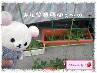 ちこちゃんのあさがお日記2012★1★-5
