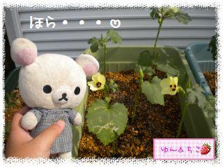 ちこちゃんの夏野菜観察日記2012★4★オクラしゃんのお花★-2