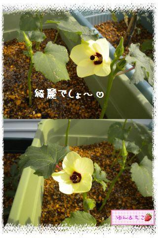 ちこちゃんの夏野菜観察日記2012★4★オクラしゃんのお花★-4