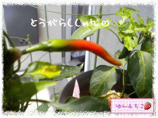 ちこちゃんの夏野菜観察日記2012★5★辛~いでしゅよ♪-3