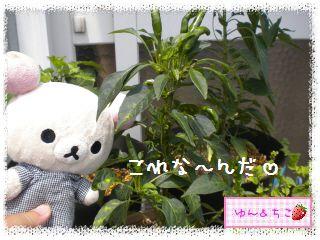 ちこちゃんの夏野菜観察日記2012★5★辛~いでしゅよ♪-2