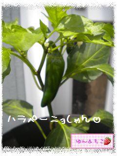 ちこちゃんの夏野菜観察日記2012★5★辛~いでしゅよ♪-6