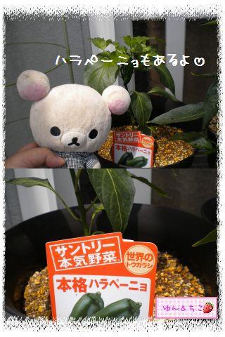 ちこちゃんの夏野菜観察日記2012★5★辛~いでしゅよ♪-5