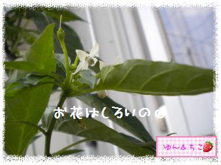ちこちゃんの夏野菜観察日記2012★5★辛~いでしゅよ♪-4