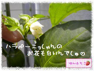 ちこちゃんの夏野菜観察日記2012★5★辛~いでしゅよ♪-7