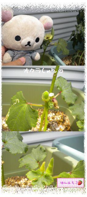 ちこちゃんの夏野菜観察日記2012★6★もうすぐ収穫♪-2