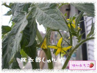 ちこちゃんの夏野菜観察日記2012★6★もうすぐ収穫♪-4