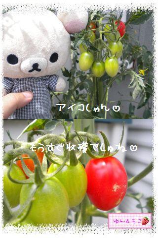 ちこちゃんの夏野菜観察日記2012★6★もうすぐ収穫♪-5
