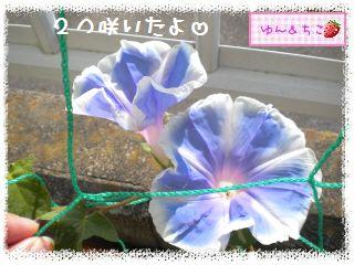ちこちゃんのあさがお観察日記2012★2★-2