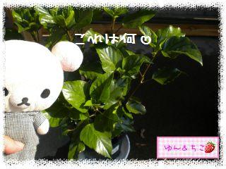 ちこちゃん日記★137★ハイビスカスしゃん♪-3