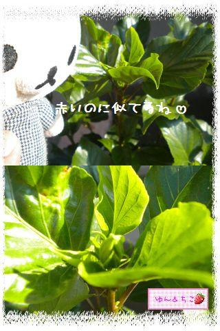 ちこちゃん日記★137★ハイビスカスしゃん♪-4