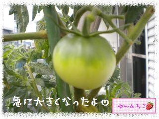 ちこちゃんの夏野菜観察日記2012★9★桃太郎しゃん♪-2