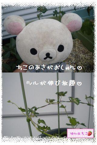ちこちゃんのあさがお観察日記2012★3★-5