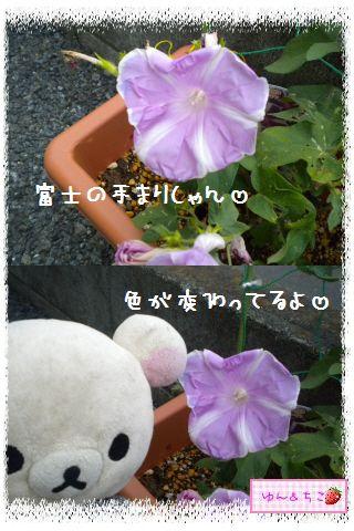 ちこちゃんのあさがお観察日記2012★3★-7