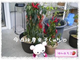 ちこちゃん日記★145★唐辛子しゃん♪-2