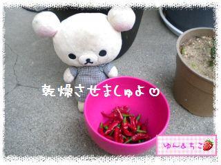 ちこちゃん日記★145★唐辛子しゃん♪-6