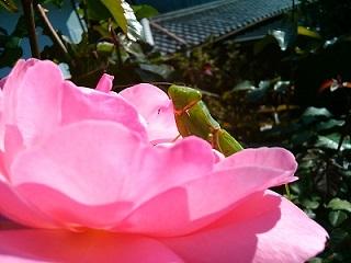 薔薇とカマキリ2