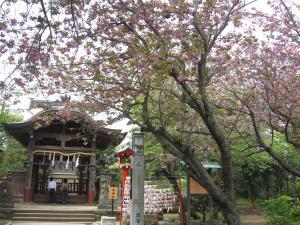 奥津宮と桜