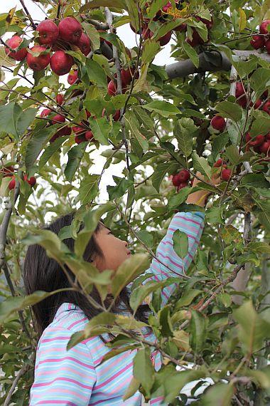 リンゴ狩り。