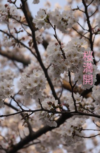 IMG_4085桜満開